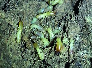 fotos-termitas_02